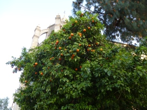 orange trees were everywhere
