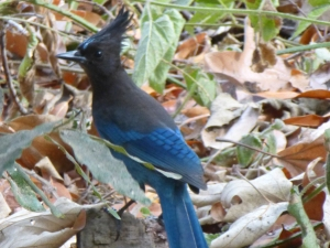 the stellar's jay, which I've only seen in Big Sur though it can be found all along the western part of the US (mostly in forests)