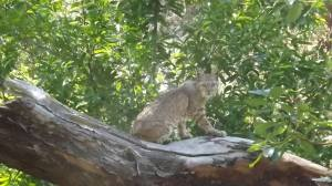 my first bobcat sighting (photo by James)