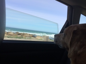 Dali prefers to enjoy the ocean from the comfort of the back seat
