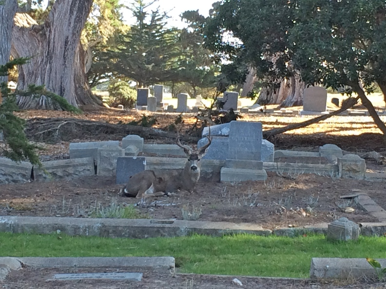 I saw the first deer out of the corner of my eye, sensing there was something alive on a plot to my left - soon I noticed half a dozen deer nearby, either grazing or lazing on top of someone's grave